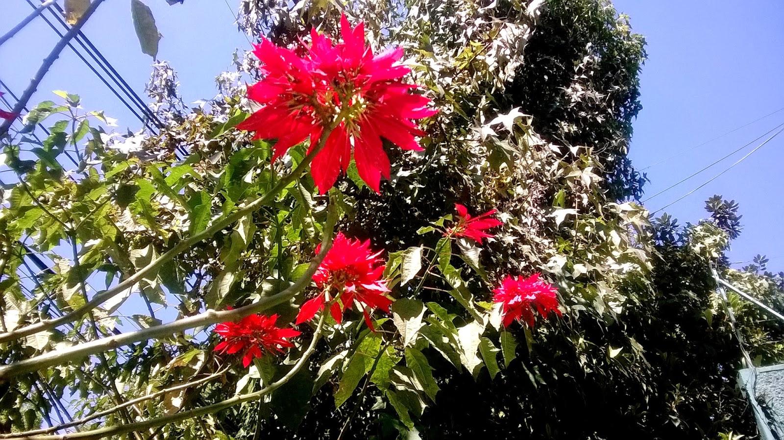 Flores y Árboles: Nochebuena o Poinsettia