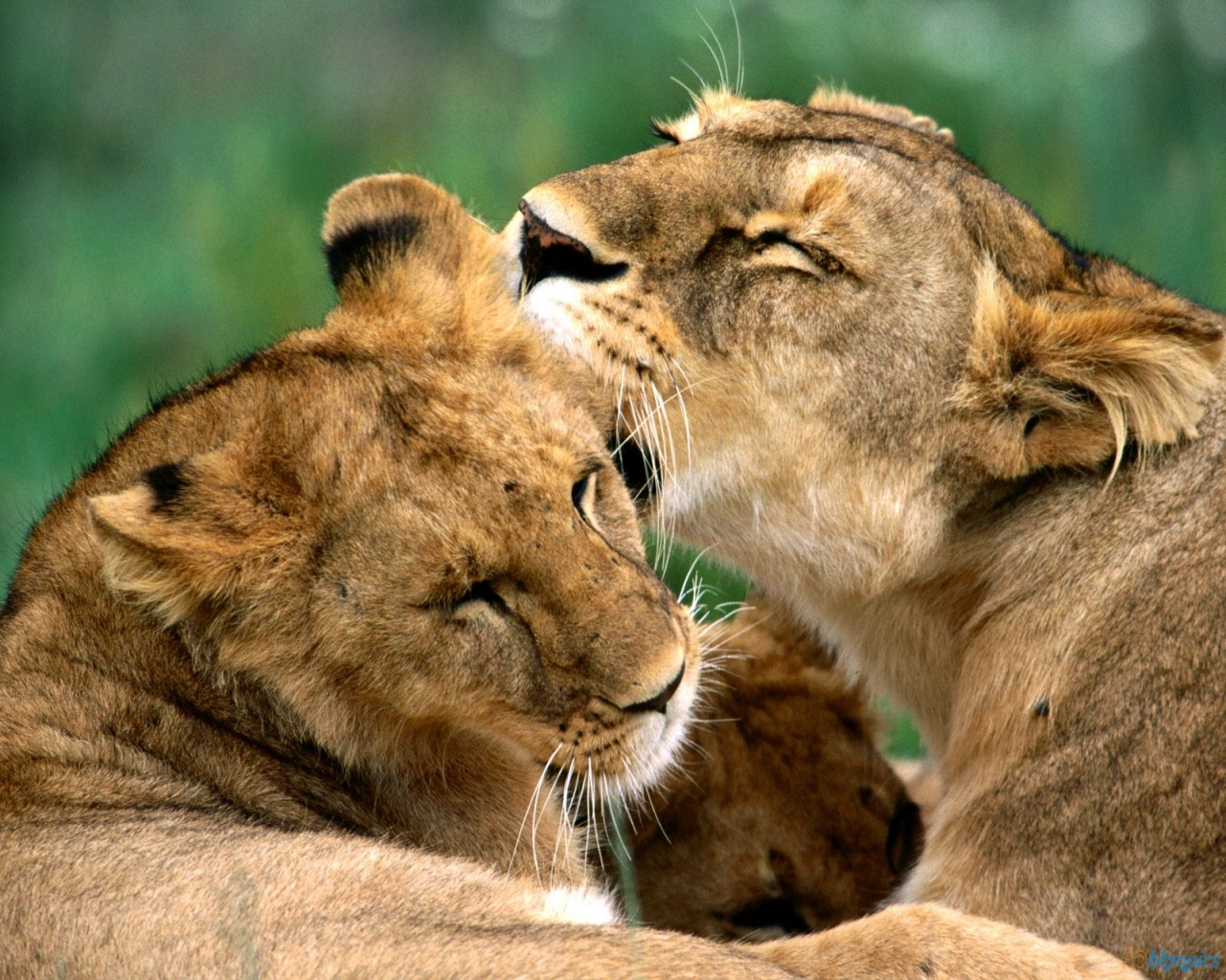 african lions - photo #8