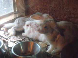 white rabbits in Zoobic Safari