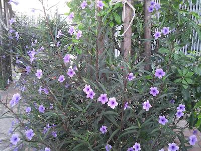 Hoa thạch thảo tím03