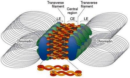 Synaptonemal Complex