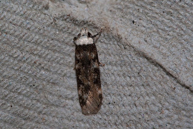White shouldered brown House-moth