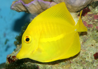 Yellow Tang Fish photo