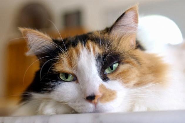 gatos como mascotas:
