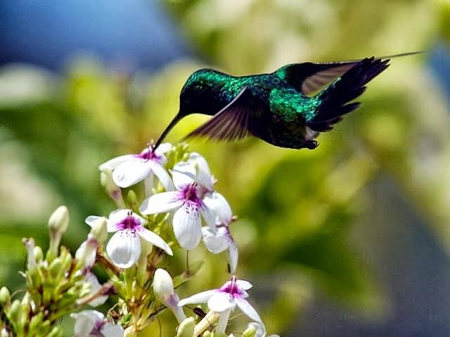 Foto Burung Kolibri Muncang Jantan