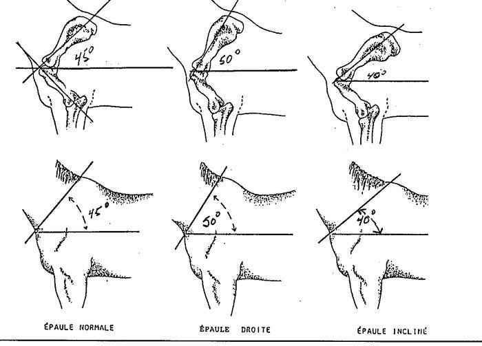 Schémas des différentes épaules chez le cheval.