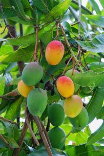 a mango for grandpa haitian creole creole edition