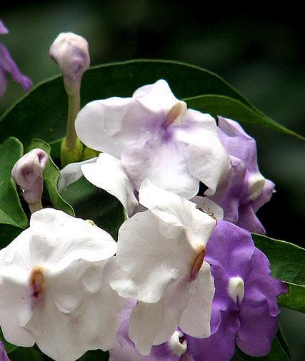 arvore manaca jardim:Manacá-de-jardim ou manacá-de-cheiro (Brunfelsia uniflora)
