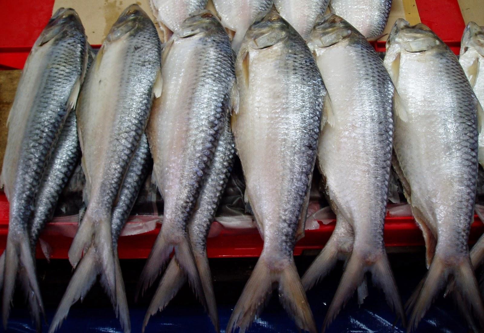 Freelittlebrain sarawak tenualosa toli fish sarawak terubuk for 99 5 the fish