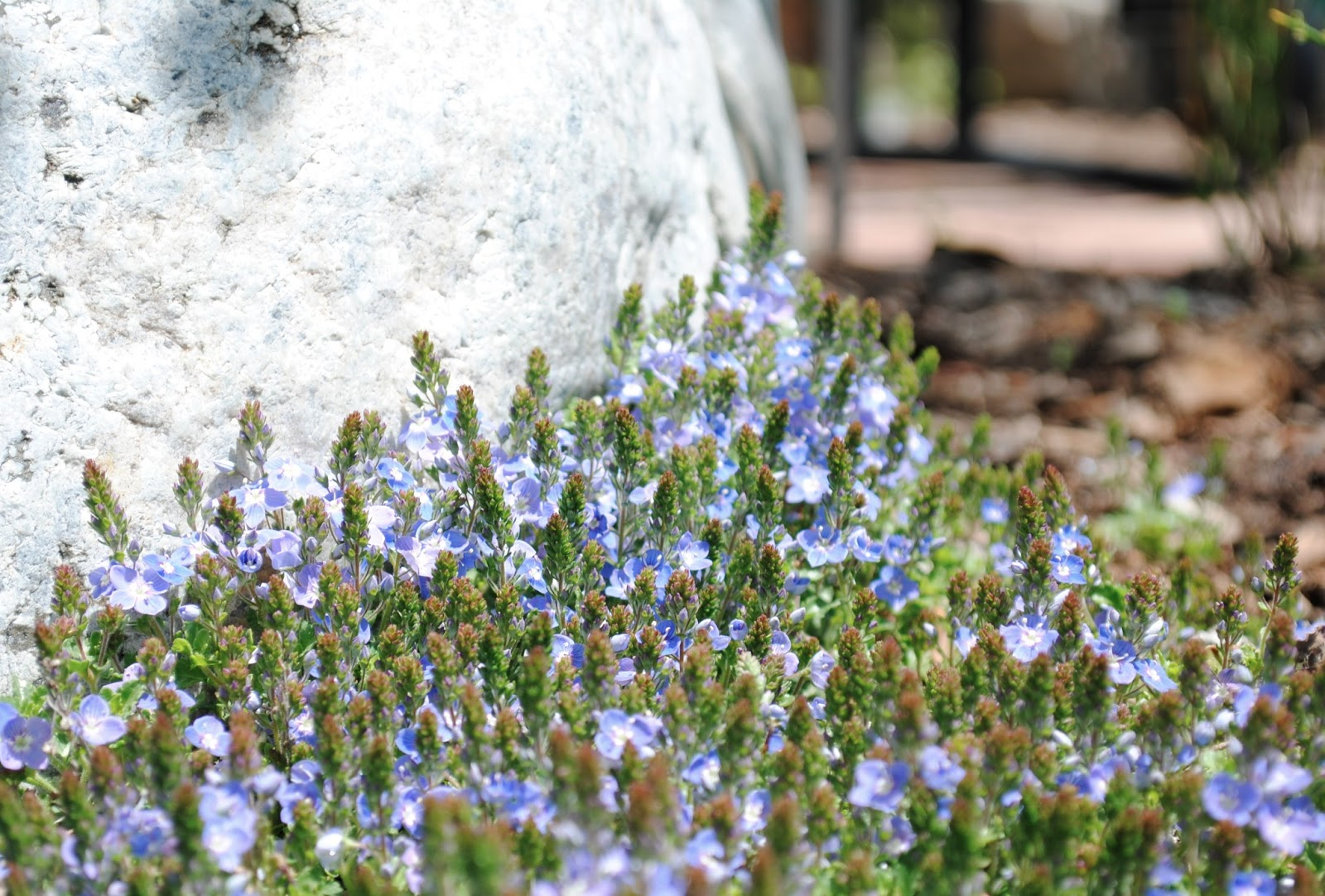 Sue cruth memorial garden recommended plants crystal river veronica is an evergreen ground cover that has a solid mass of tiny blue flowers in early spring it is very fast growing and vigorous and izmirmasajfo