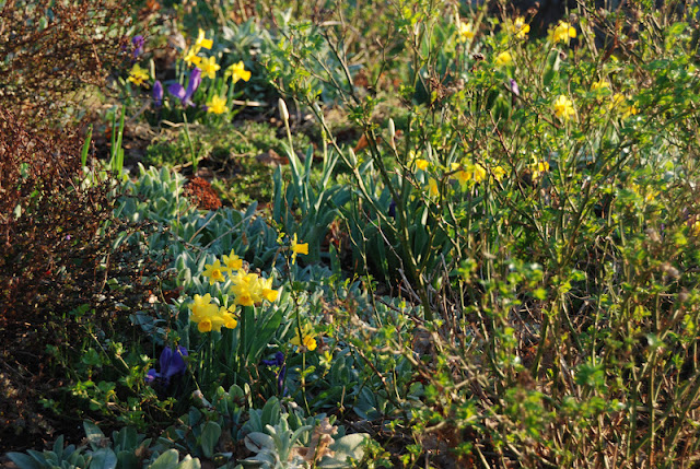 Narcissus 'Tete-a-tete' and Crocus 'Grand Maitre' with silvery lamb's ears (Stachys byzantine) in the Hill Garden.