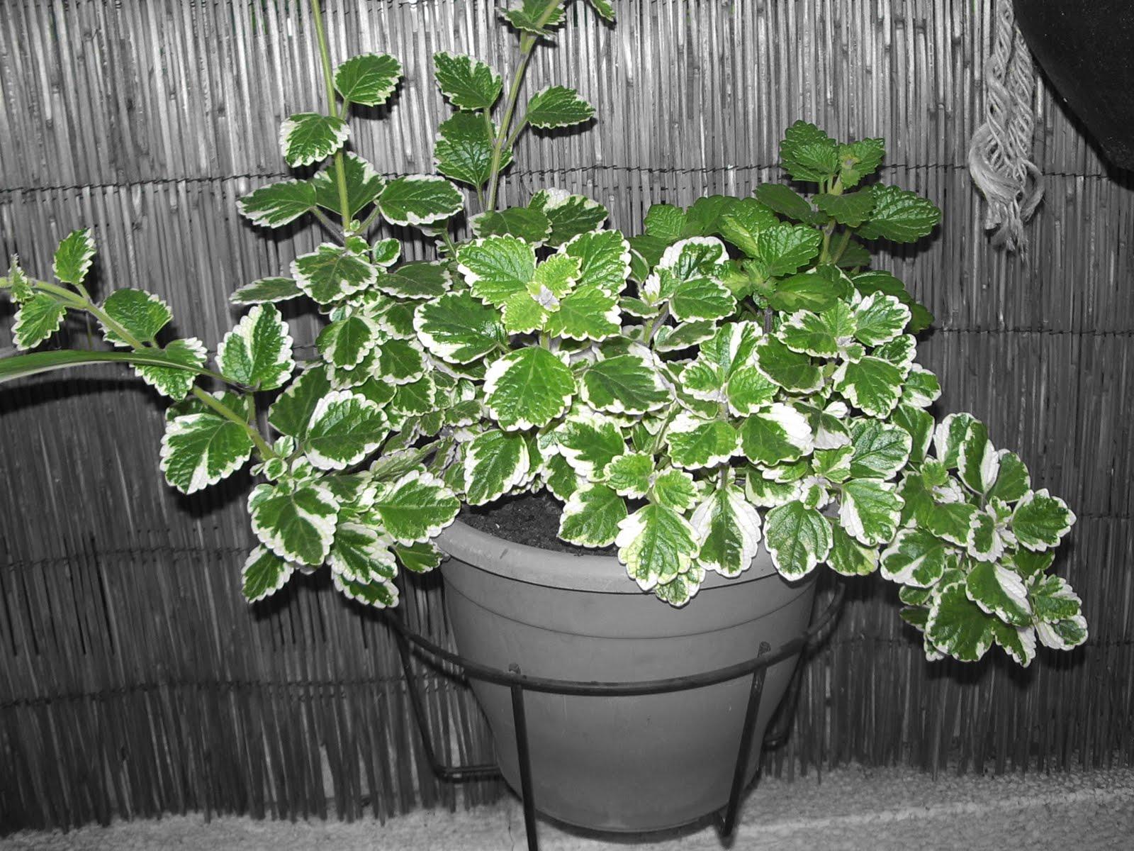 un jardin en macetas plectranthus madagascariensis