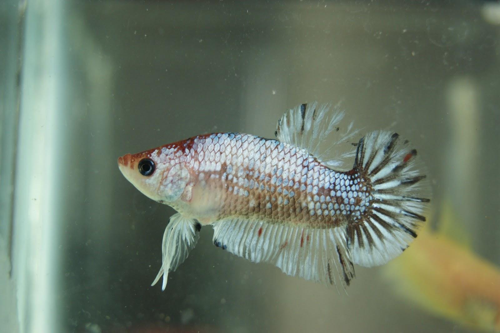 Koi fancy for sell sk betta for Fancy koi fish