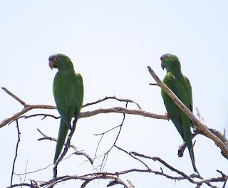 Blue-crowned Parakeet neumanni