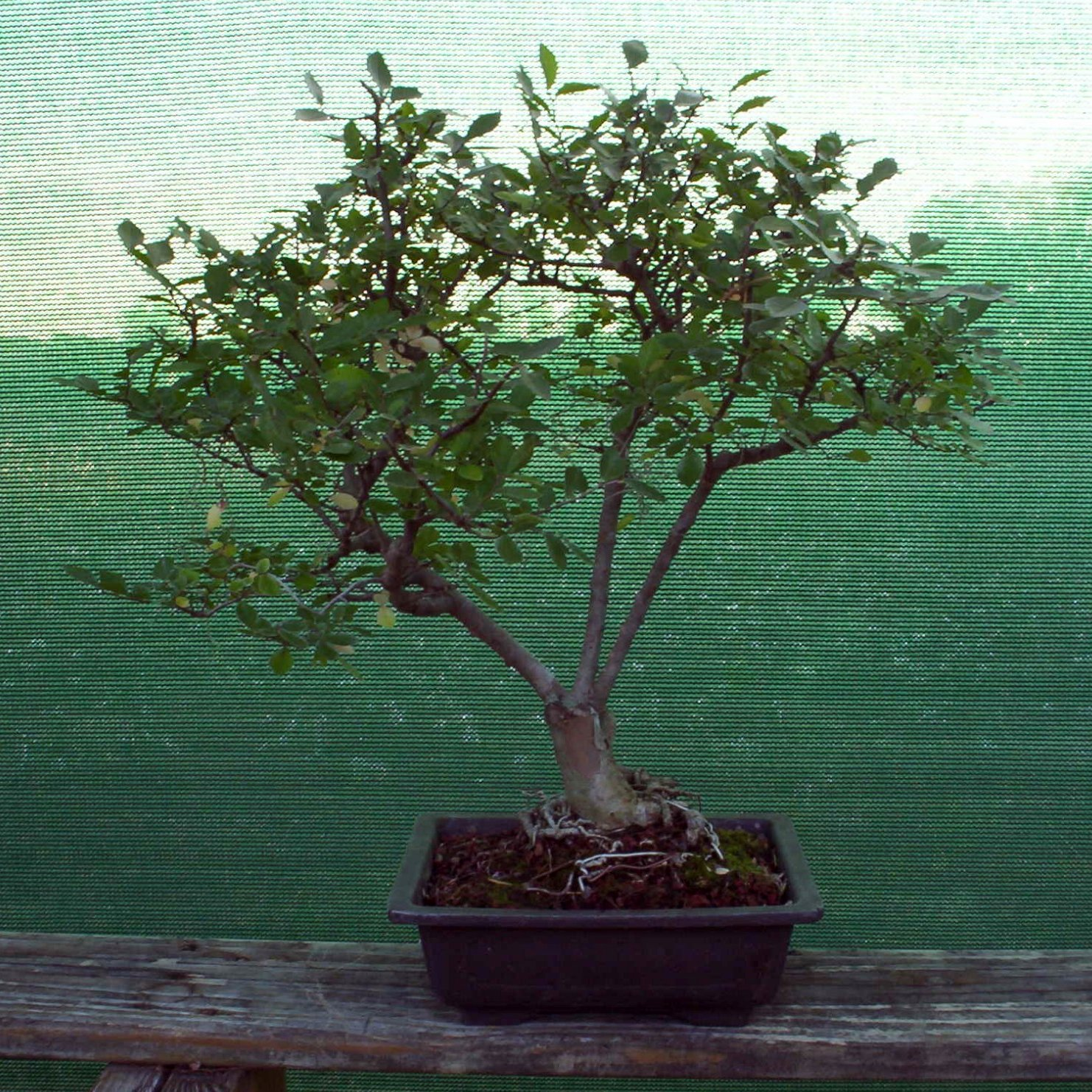 Bonsai Beginnings July 2012
