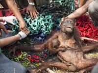 Miris, Orangutan Korban Kebakaran Ini Ramai di Negeri Orang