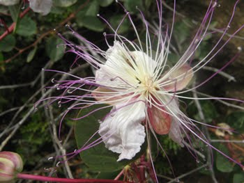 Capparis spinosa (Cappero)