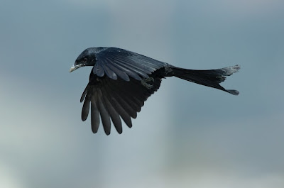latest videos of black drongo bird flying
