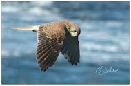 the latest post at Snap Happy Birding is linked here....just click on pic. to take you there.