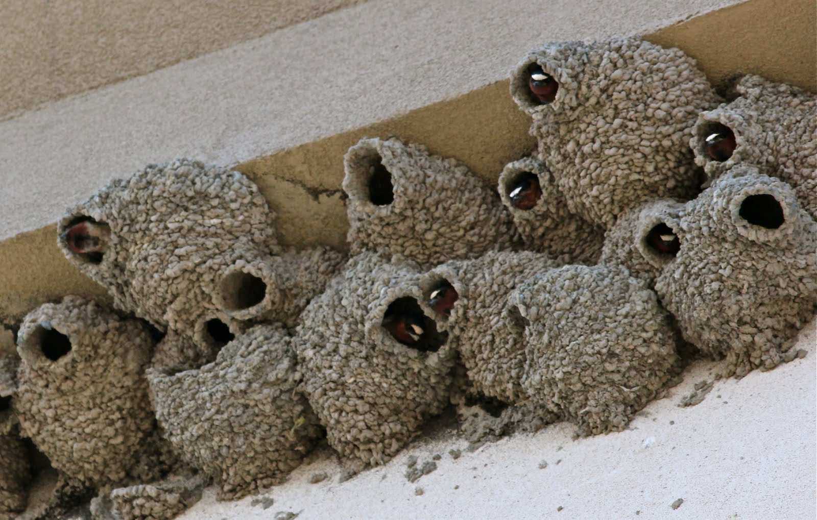 real cliff swallows nests made of mud and spit lined with grass cliff ...