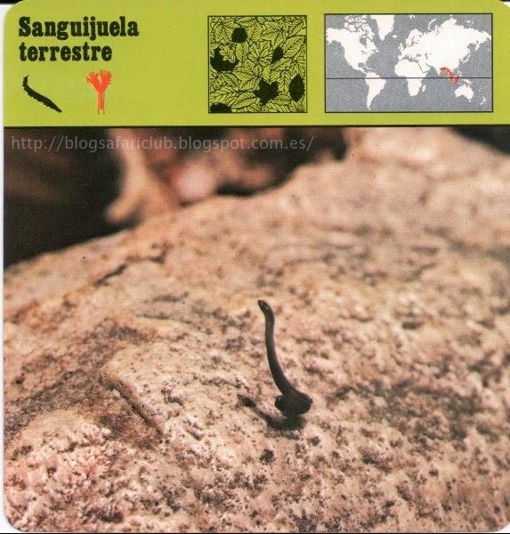 Blog Safari Club, la Sanguijuela terrestre, pulula en los bosques de Malasia
