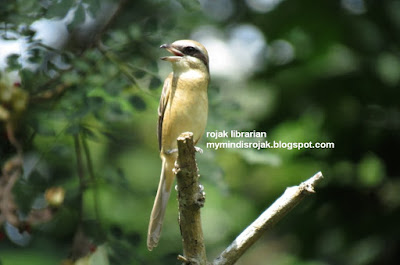Brown Shrike in Bidadari