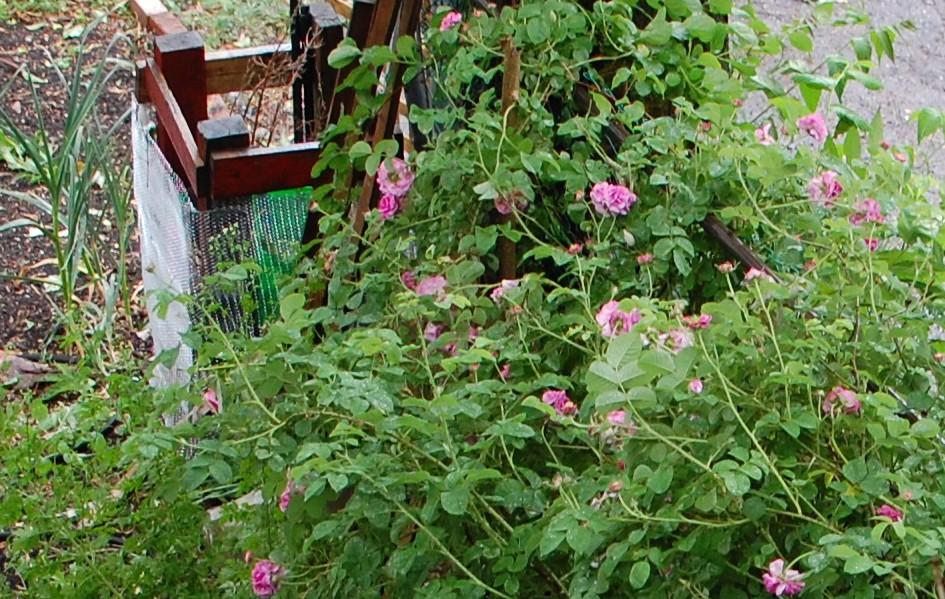 backyard farms rain on the roses