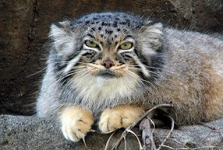 [Image: Pallas+Cat.jpg]
