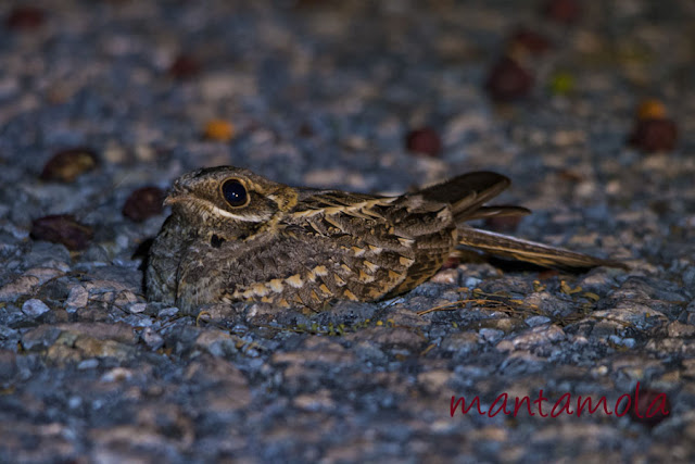 Kaeng Krachan, Indian Nightjar