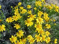 Wildflowers in bloom on Warren Point Trail, Joshua Tree National Park