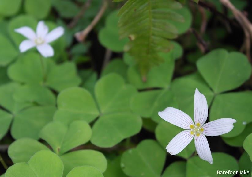 Spring quinault