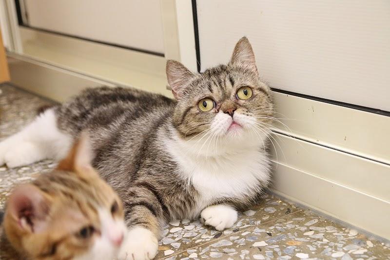 待送養貓咪- 小斑,親人愛撒嬌