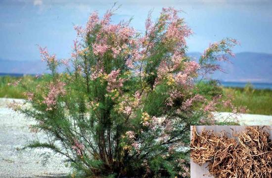 Tamarix chinensis Lour. (Family: Tamaricaceae)