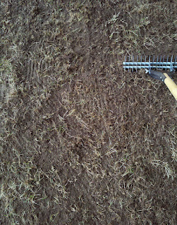 Thatch rake digging out dieing weeds and grass before reseeding lawn