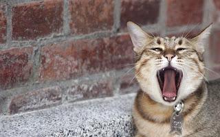 Animal Cat HD Wallpaper