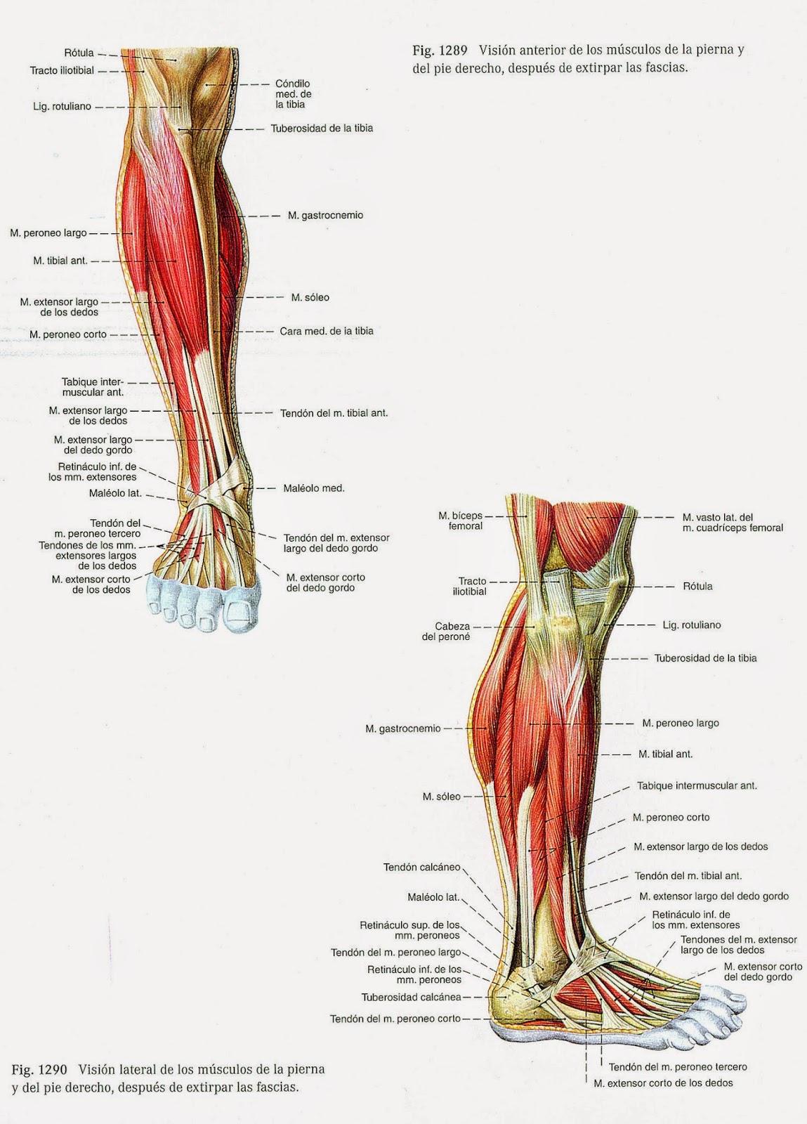 Asombroso Los Músculos De La Pantorrilla Anatomía Composición ...