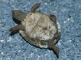 Plastrón de Homopus areolatus