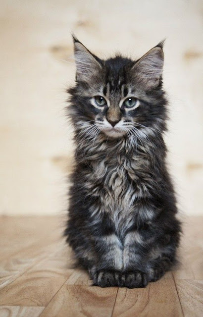 Photo maine coon chaton