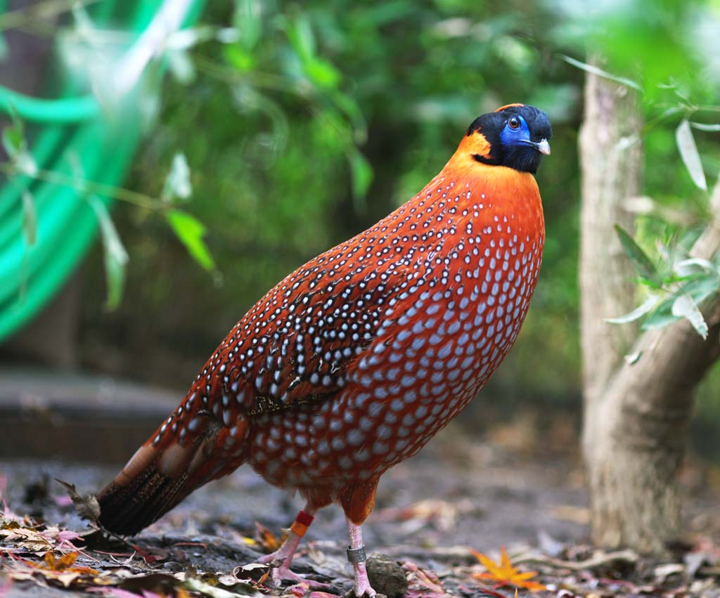 Image result for himalayan monal pic