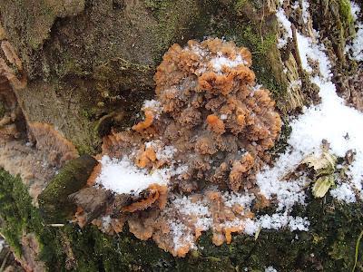 żylak promienisty Phlebia radiata