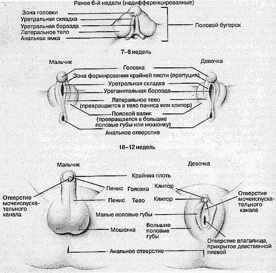 Половой орган девственницы