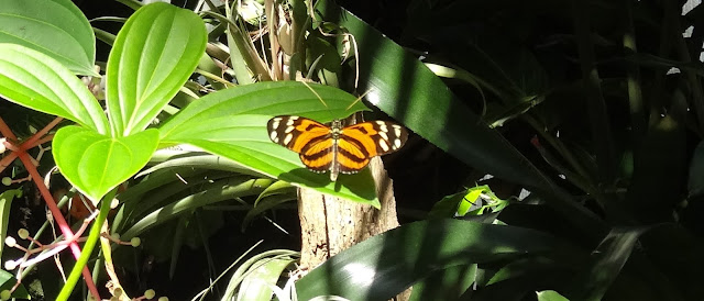 Tiger-Passionsfalter (engl. Tiger Longwing, lat. Heliconius ismenius)