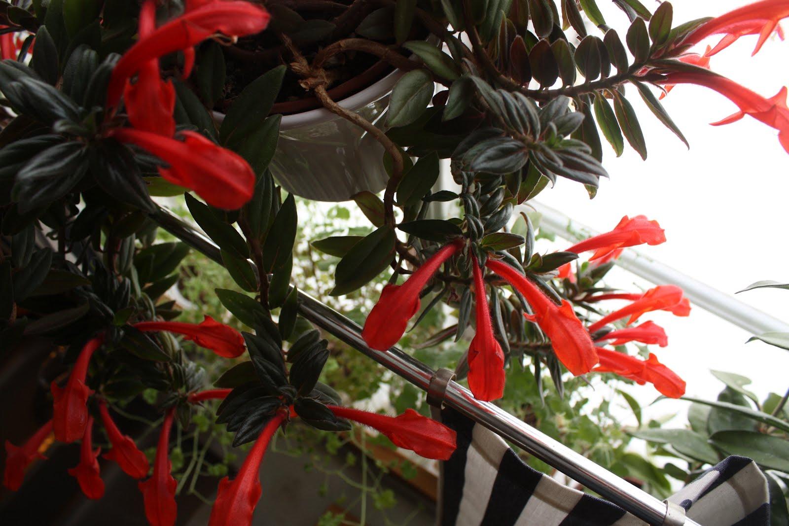 Fina Koksfonster : dorunder syns de vildvuxna pelargonerna