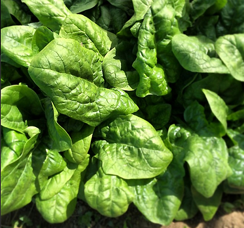 Spring Spinach - www.FoyUpdate.blogspot.com