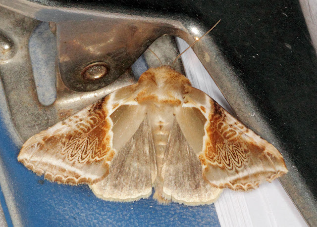 Moth, Buff Arches, Habrosyne pyritoides.  Keston Common moth trap, 2 July 2011.