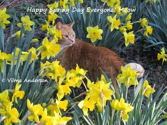 Picture of my cat among a bed of daffodils