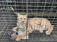Lynxie