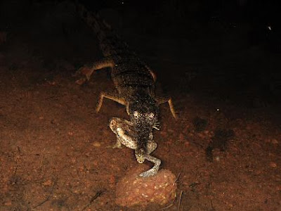 Crocodile eats cane toad