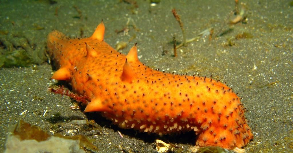 Real Monstrosities Warty Sea Cucumber