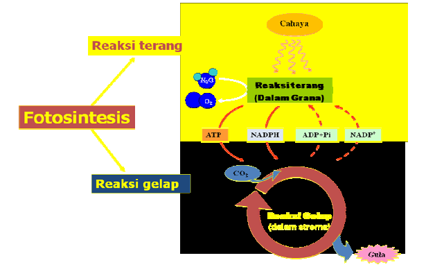 Reaksi terang dan gerak fotosintesis 42